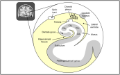 Appeared in Bearden et al. (2011), The Neuroscientist. [http://dx.doi.org/10.1177/1073858411415113]