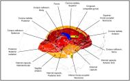 Appeared in Kochunov et al. (2015), Neuroimage. [http://dx.doi.org/10.1016/j.neuroimage.2015.02.050]